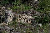 panthèredes  neiges 16 -  snow leopard.JPG
