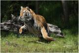 TIGRE -   TIGER 1.JPG