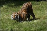 TIGRE  -  TIGER 2.JPG