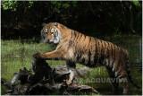 TIGRE  - TIGER 3.JPG