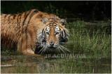 TIGRE -   TIGER 9.JPG