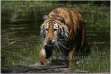 TIGRE -  TIGER 10.JPG