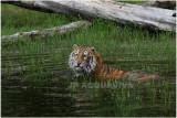 TIGRE -  TIGER 12.JPG