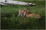 TIGRE -  TIGER 13.JPG