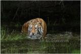TIGRE -  TIGER 14.JPG