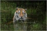 TIGRE -  TIGER 15.JPG