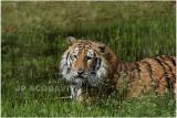 TIGRE -  TIGER 16.JPG