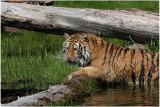 TIGRE  - TIGER 17.JPG
