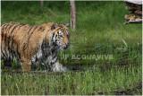 TIGRE  - TIGER 19.JPG