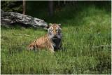 TIGRE -  TIGER 20.JPG