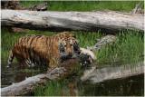 TIGRE -  TIGER 21.JPG