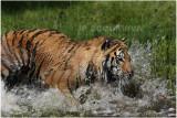 TIGRE -  TIGER 22.JPG