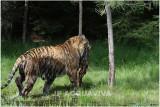 TIGRE -  TIGER 27.JPG