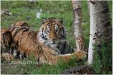 TIGRE -  TIGER 29.JPG