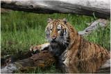 TIGRE-  TIGER 25.JPG