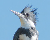 Deformed bill, Belted Kingfisher, Wenatchee Confluence Park DPP_1040208.jpg
