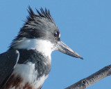 Deformed bill, Belted Kingfisher, Wenatchee Confluence Park DPP_1040210.jpg