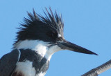 Deformed bill, Belted Kingfisher, Wenatchee Confluence Park DPP_1040211.jpg