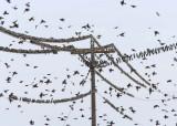 Starlings,  DPP_1634201.jpg