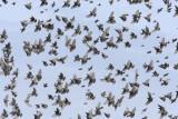 Starlings, wider view of previous  DPP_1634202.jpg