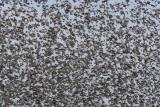 Starlings,  DPP_1634203.jpg