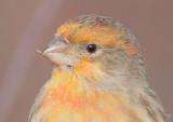 House Finch, Orange Variant, Unusual Beak  DPP_1042704 copy.jpg