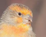 House Finch, Orange Variant,  Unusual Beak  DPP_1042705.jpg