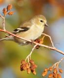 American Goldfinch, Wenatchee, September  DPP_1006617 copy.jpg