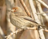 House Finch, young male DPP_1006625 copy.jpg