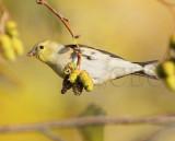 American Goldfinch, Wenatchee, September   DPP_1006643 copy.jpg