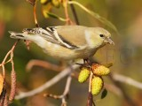 American Goldfinch, Wenatchee, winter plumage, September   DPP_1006654.jpg