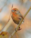 House Finch, male, Orange Variant DPP_1008612 copy.jpg