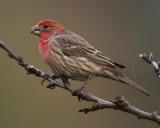 House Finch, male DPP_1025308 copy.jpg