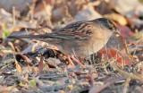 Golden-crowned Sparrow, Yakima DPP_1042501 copy.jpg