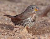 Fox Sparrow, Yakima DPP_1042711 copy.jpg