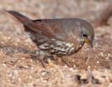 Fox Sparrow, Yakima DPP_1042712 copy.jpg