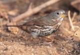 Fox Sparrow, Yakima DPP_1042714 .jpg