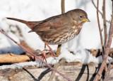 Extreme Cold, Fox Sparrow, Yakima DPP_1042849 copy.jpg