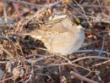 Golden-crowned Sparrow, Yakima DPP_1042864 copy.jpg