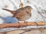 Extreme Cold, Fox Sparrow, Yakima DPP_1042866 copy.jpg