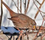 Extreme Cold, Fox Sparrow, Yakima DPP_1042867 copy.jpg