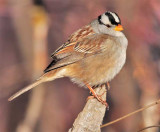 Extreme Cold, White-crowned Sparrow Yakima DPP_1042871 .jpg