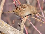 Weird Angle, Young Golden-crowned Sparrow, Yakima DPP_1042911 copy.jpg