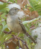 Weird Angle, Young Golden-crowned Sparrow, or possibly White Throated Sparrow, Tieton RiverDPP_1003188 copy.jpg