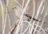 Townsend's Solitaire, Moses Lake  DPP_10028018 copy.jpg