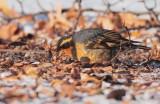 Varied Thrush, male, Yakima Arboretum  DPP_1002975 2.jpg