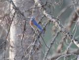 Western Bluebird, male, Little Naches DPP_10030471 copy.jpg