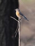 Western Bluebird, female, Little Naches DPP_10030472 copy.jpg