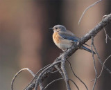 Western Bluebird, female, Little Naches DPP_10030538 copy.jpg