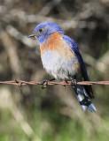 Western Bluebird, male, Yakima Bluebird Trail DPP_16014269 copy.jpg